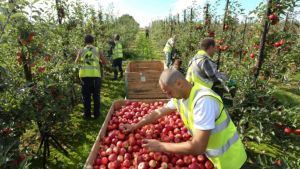 UK fruit pickers
