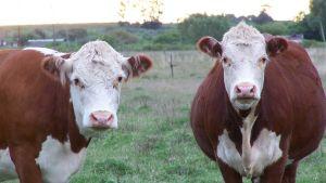 Uruguay cows