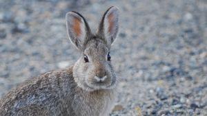 Utah rabbit
