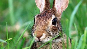 Vermont rabbits