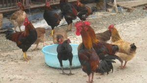 Vietnam poultry