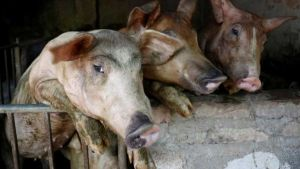 Vietnam swine fever