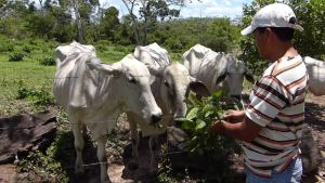 Bolivian farmer with cows