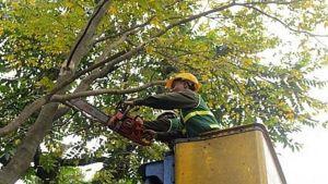 Hanoi to cut many trees