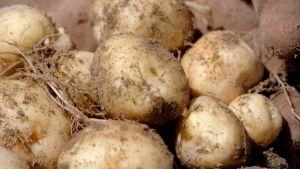 La Bonnotte potato
