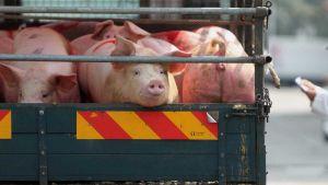 South Korea pig farm