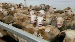 Sheep on ship