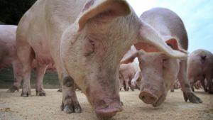 Bulgarian pig farm