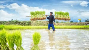 Cambodian rice farmer