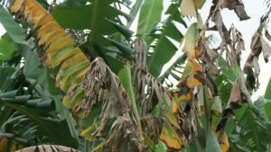 Fusarium wilt tropical race 4