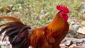Indonesia chicken