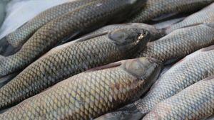 Russia fish