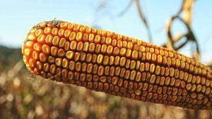 U.S. corn