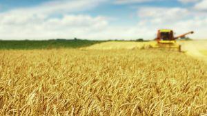 Ukrainian farmers harvest