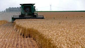 US wheat