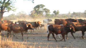 Zambia cattle