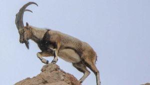 North Macedonia goats