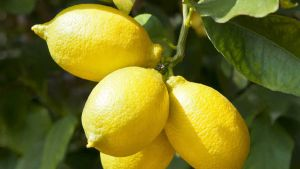Argentina lemons