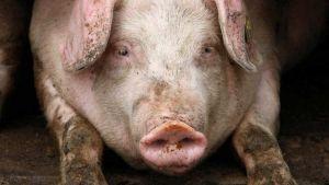 Bulgaria pig