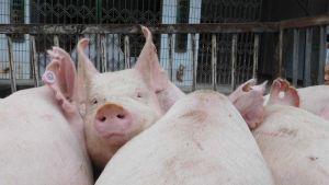China pork farm