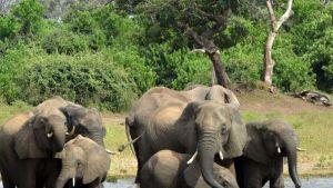 elephant deaths in Botswana