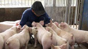 Japan hog