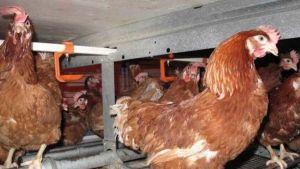 Mainland Poultry farm in Waikouaiti