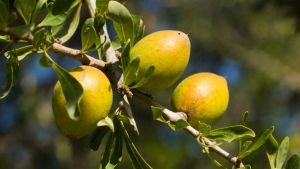 Moroccan argan trees
