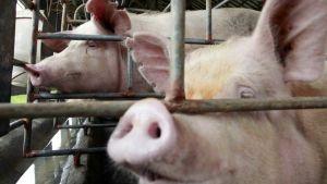 North Sumatra pigs