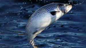 Salmon escaped