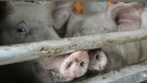 South Korea pigs