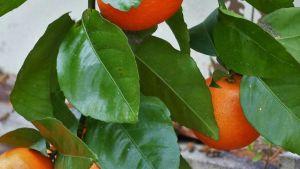 Uruguayan oranges