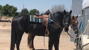 Vesicular stomatitis Colorado horse