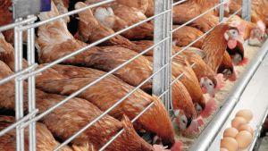 Vietnam chicken