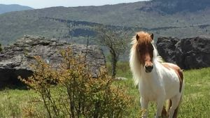 Virginia horse
