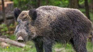 Wild boar in South Korea