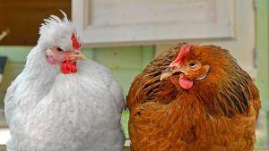 Kazakhstan poultry