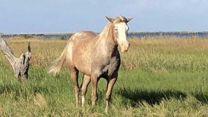 Louisiana horses