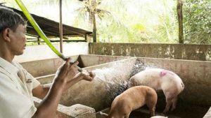 Vietnam African swine fever