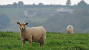 Wales lamb
