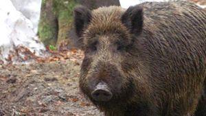 Germany wild boar