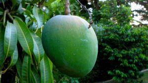 Jamaica mango