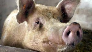 Korea pigs