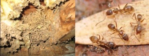 Moisture Ant Pest Control