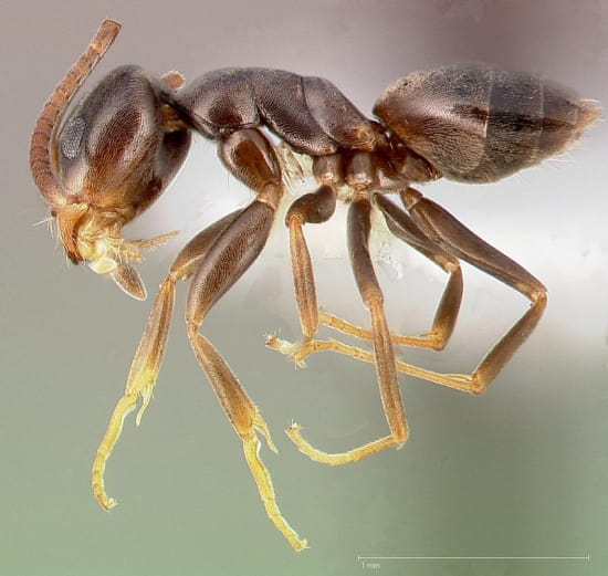 Odorous House Ants Pest Control