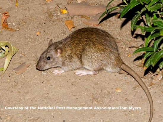 Norway Rat Pest Control Vancouver