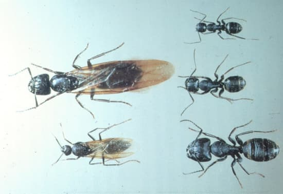 Carpenter Ants Pest Control Vancouver