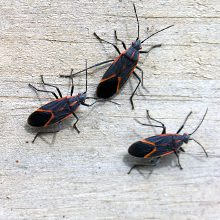 Box Elder Pest Control