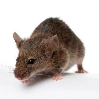 Mice/Rat Pest Control
