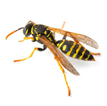 Bee/Wasp Pest Control
